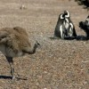 7722155-magellanic-penguins-at-peninsula-valdes-patagonia-argentina.jpg