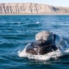 7768558-a-right-whale-in-peninsula-valdes-argentina.jpg